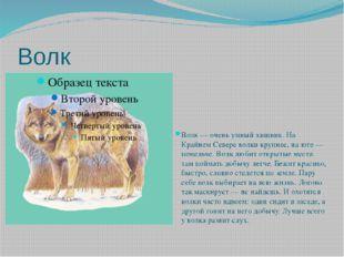 Волк Волк — очень умный хищник. На Крайнем Севере волки крупнее, на юге — пом
