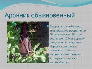 Аронник обыкновенный Скорее это необычное, чем красивое растение до 90 см выс