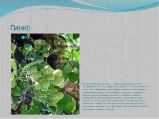 Гинко Это высокорослое растение – «живое ископаемое» из Юго-Восточного Китая