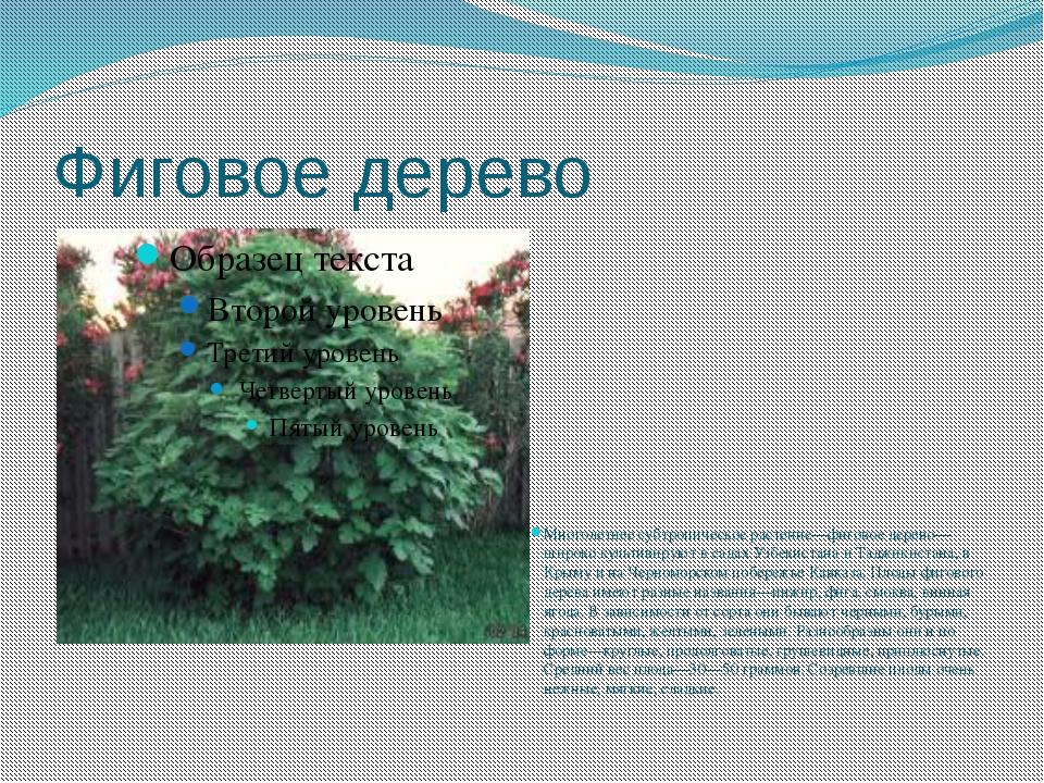 Фиговое дерево Многолетнее субтропическое растение—фиговое дерево—широко куль...