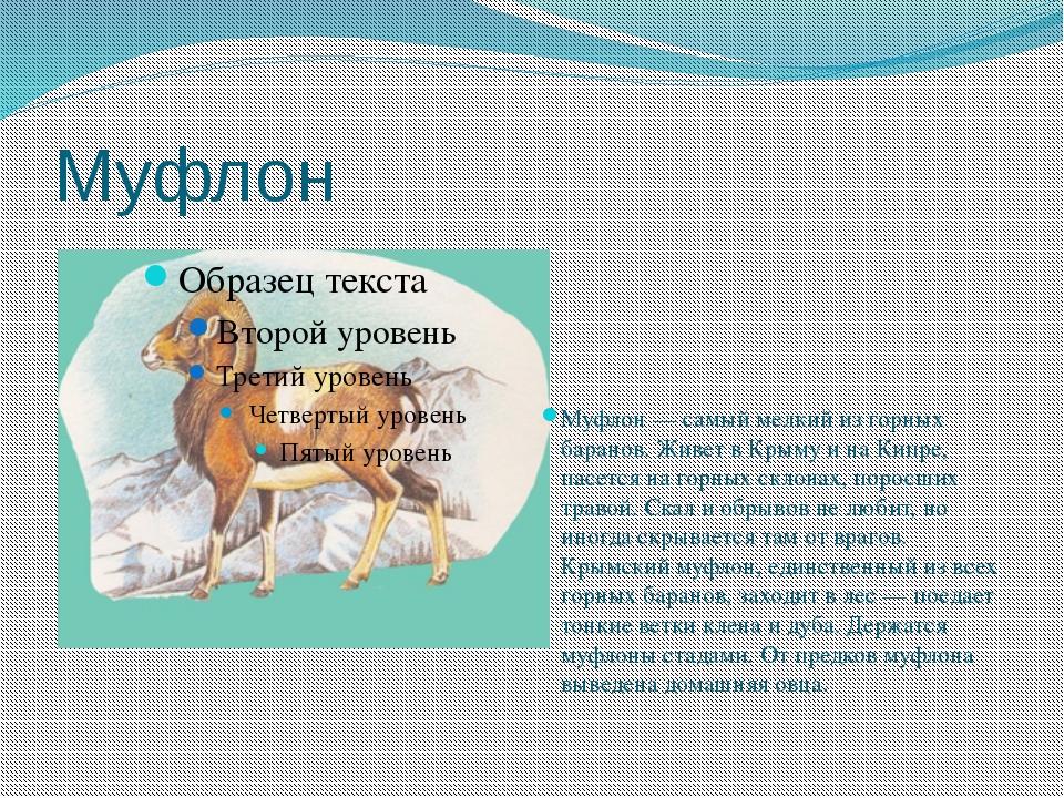 Муфлон Муфлон — самый мелкий из горных баранов. Живет в Крыму и на Кипре, пас...