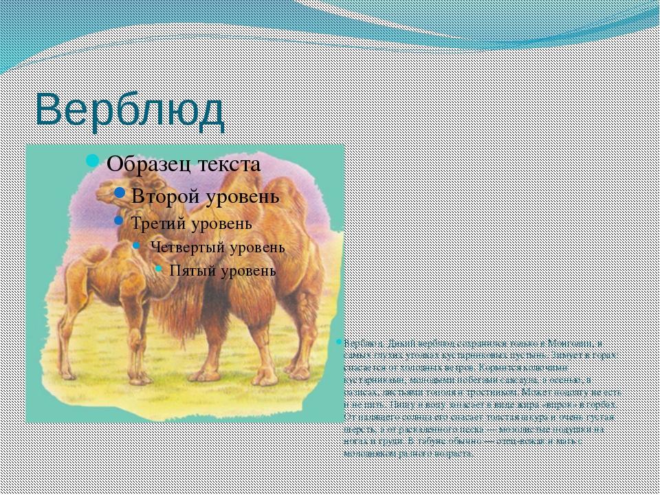 Верблюд Верблюд. Дикий верблюд сохранился только в Монголии, в самых глухих у...