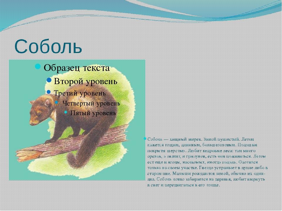 Соболь Соболь — хищный зверек. Зимой пушистый. Летом кажется тощим, длинным,...