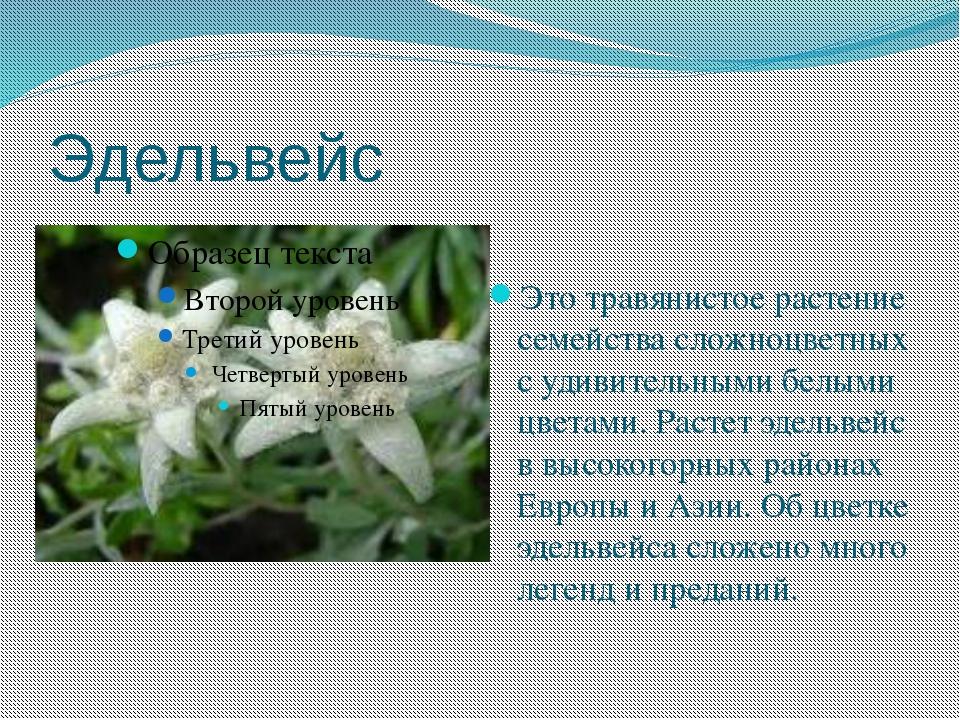 Эдельвейс Это травянистое растение семейства сложноцветных с удивительными бе...