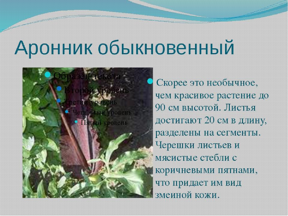 Аронник обыкновенный Скорее это необычное, чем красивое растение до 90 см выс...