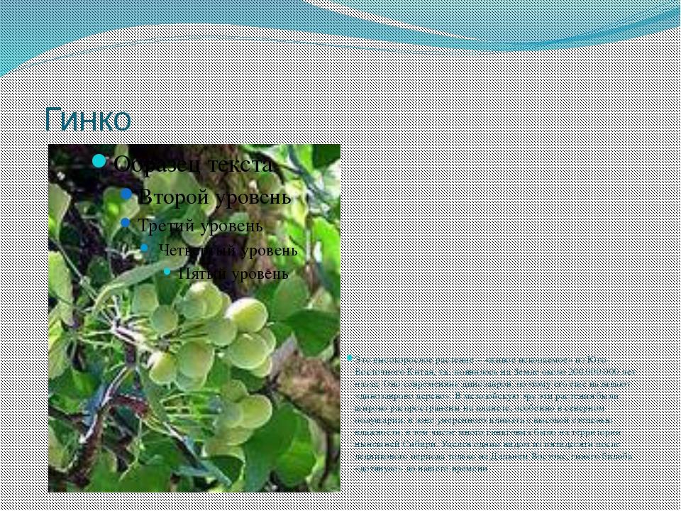 Гинко Это высокорослое растение – «живое ископаемое» из Юго-Восточного Китая...