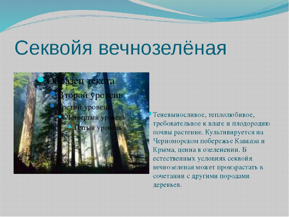 Секвойя вечнозелёная  Теневыносливое, теплолюбивое, требовательное к влаге и...
