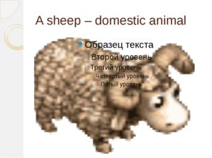 A sheep – domestic animal
