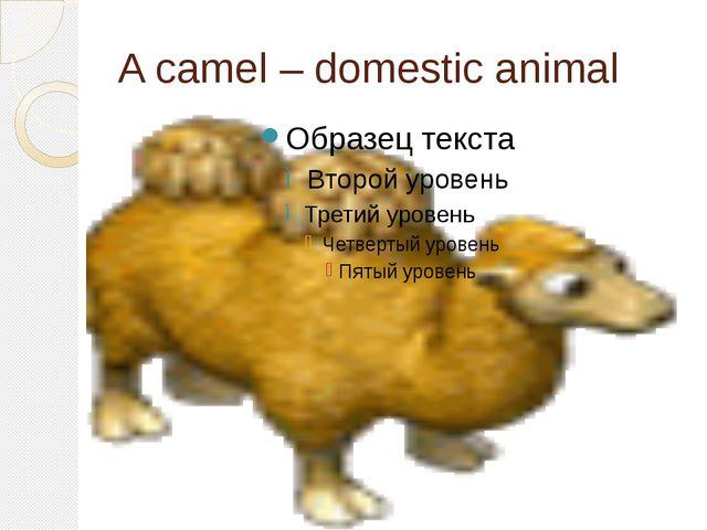 A camel – domestic animal
