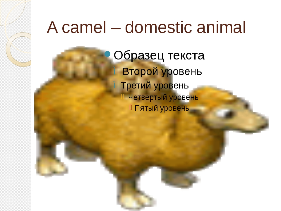 A camel – domestic animal
