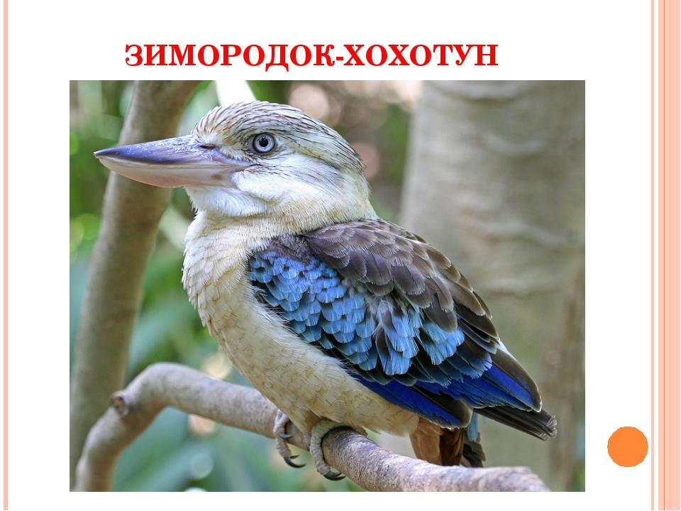 ЗИМОРОДОК-ХОХОТУН
