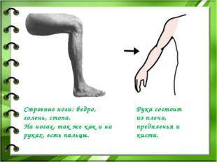 Строение ноги: бедро, голень, стопа. На ногах, так же как и на руках, есть па