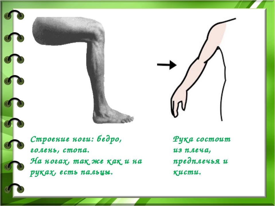 Строение ноги: бедро, голень, стопа. На ногах, так же как и на руках, есть па...