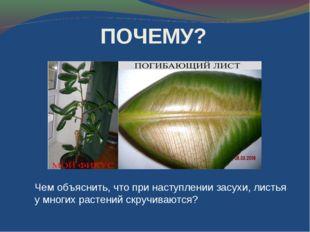 Чем объяснить, что при наступлении засухи, листья у многих растений скручиваю
