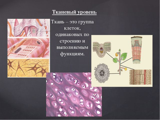 Тканевый уровень Ткань – это группа клеток, одинаковых по строению и выполняе...