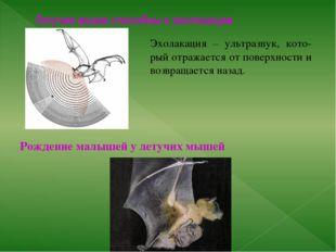 Летучие мыши способны к эхолокации Рождение малышей у летучих мышей Эхолакаци