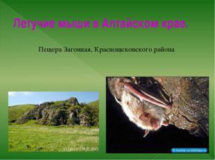 Летучие мыши в Алтайском крае. Пещера Загонная, Краснощековского района Изуча