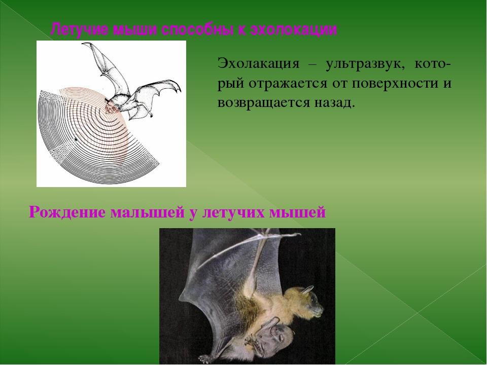 Летучие мыши способны к эхолокации Рождение малышей у летучих мышей Эхолакаци...