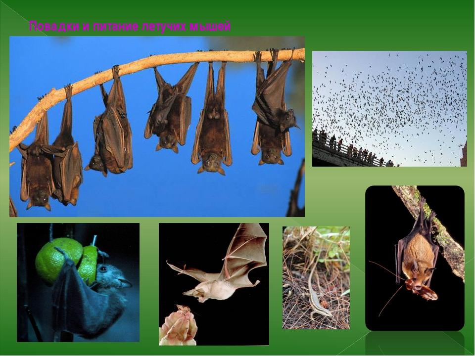 Повадки и питание летучих мышей Летучие мыши питаются насекомыми, фруктовым с...