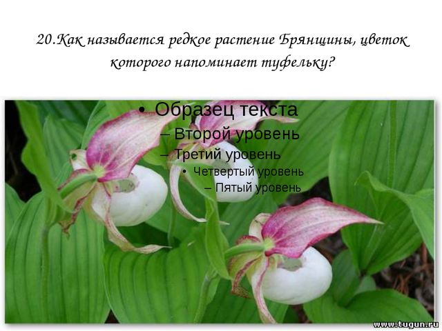 20.Как называется редкое растение Брянщины, цветок которого напоминает туфель...
