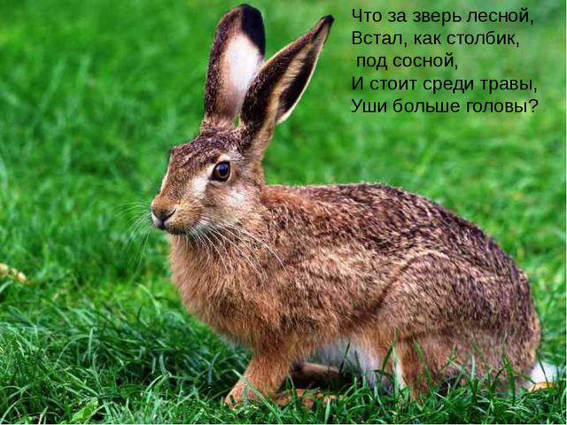Что за зверь лесной, Встал, как столбик, под сосной, И стоит среди травы,...
