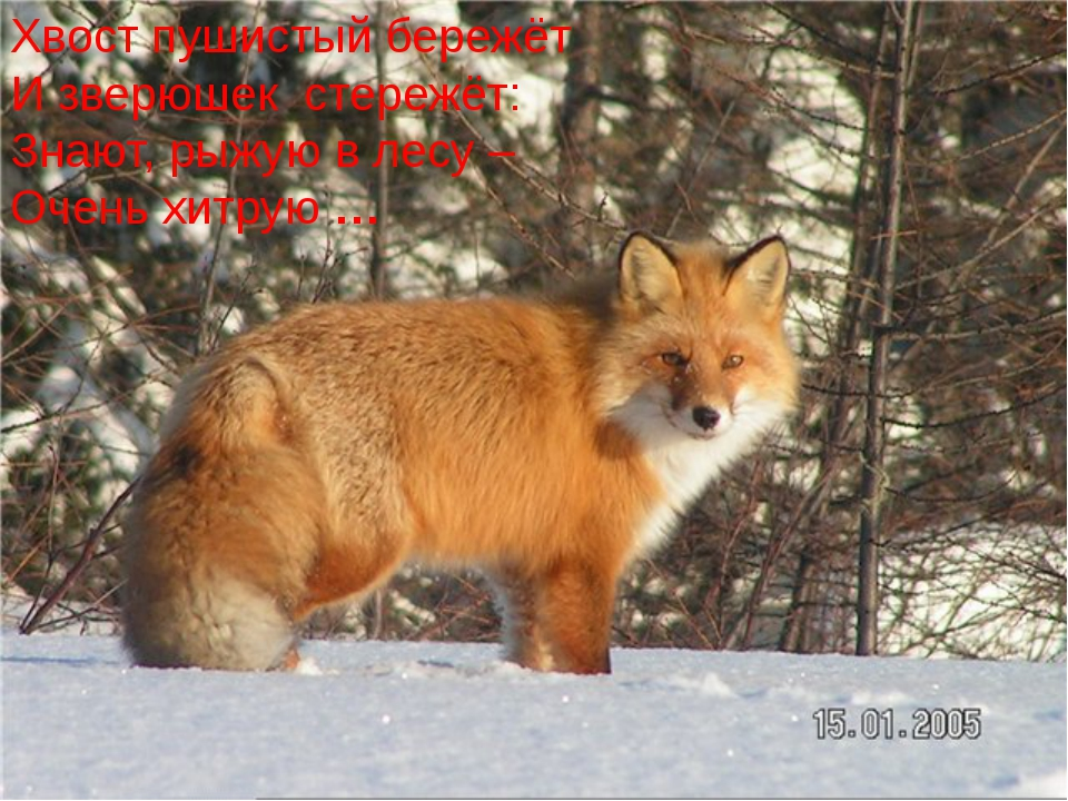 Хвост пушистый бережёт И зверюшек стережёт: Знают, рыжую в лесу – Очень хитр...
