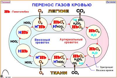 http://biolgra.ucoz.ru/Ilustrations/Anatomy/gas_lood1.jpg