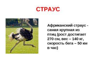СТРАУС Африканский страус - самая крупная из птиц (рост достигает 270 см, вес