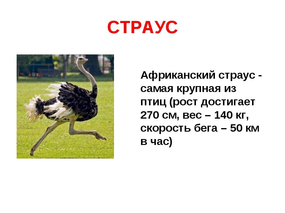 СТРАУС Африканский страус - самая крупная из птиц (рост достигает 270 см, вес...
