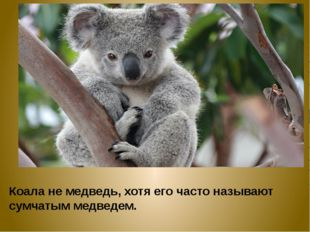 Коала не медведь, хотя его часто называют сумчатым медведем.