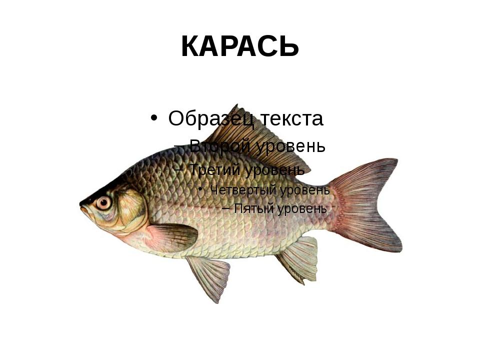 КАРАСЬ