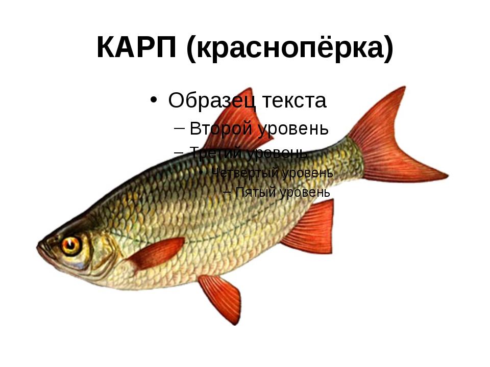 КАРП (краснопёрка)