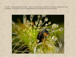 Росянка – насекомоядное растение. Такой способ питания позволяет в условиях о