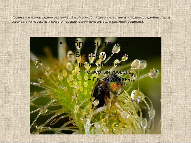 Росянка – насекомоядное растение. Такой способ питания позволяет в условиях о...