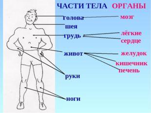 голова мозг ЧАСТИ ТЕЛА ОРГАНЫ грудь лёгкие живот шея руки ноги сердце желудок