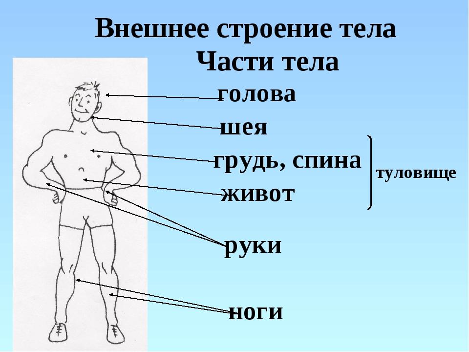 Внешнее строение тела голова шея руки ноги грудь, спина живот туловище Части...
