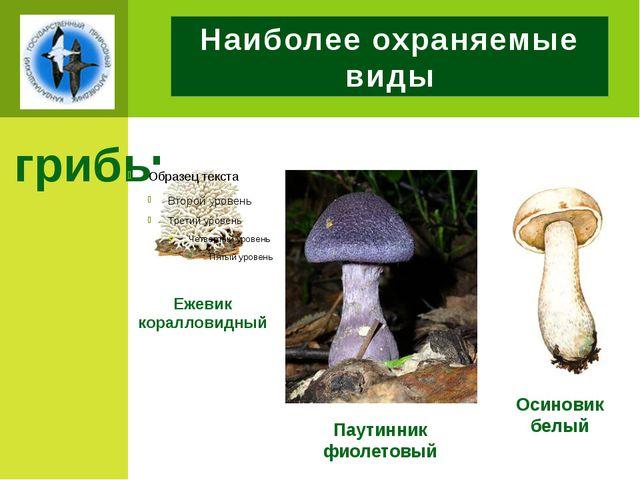 Наиболее охраняемые виды грибы Ежевик коралловидный Осиновик белый Паутинник...