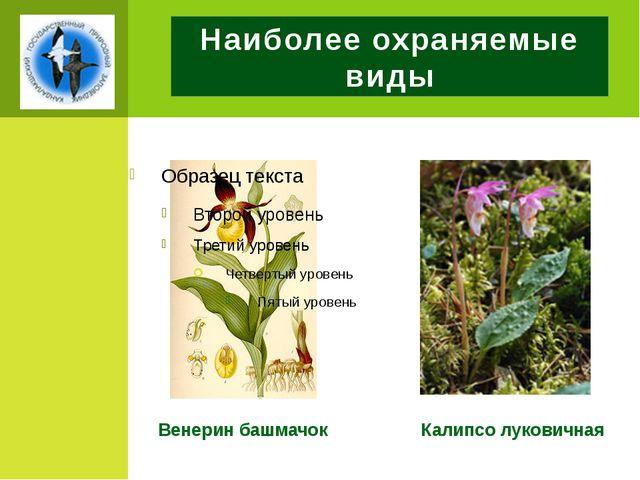 Наиболее охраняемые виды Венерин башмачок Калипсо луковичная
