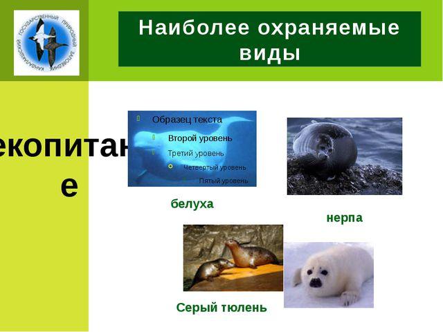 Наиболее охраняемые виды млекопитающие белуха нерпа Серый тюлень