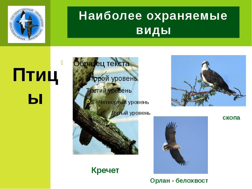 Наиболее охраняемые виды Птицы Кречет Орлан - белохвост скопа