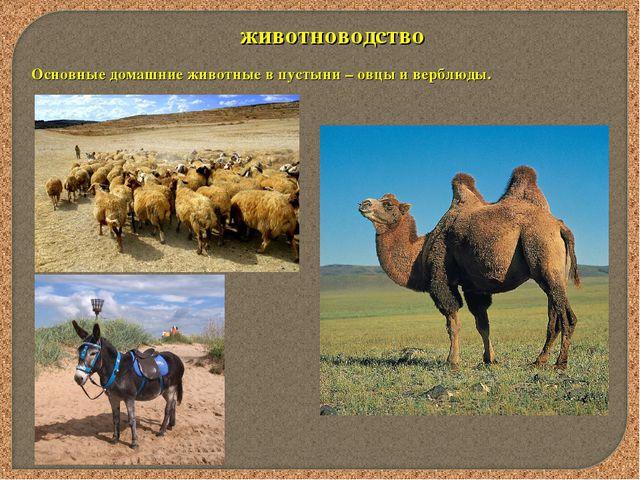 животноводство Основные домашние животные в пустыни – овцы и верблюды.
