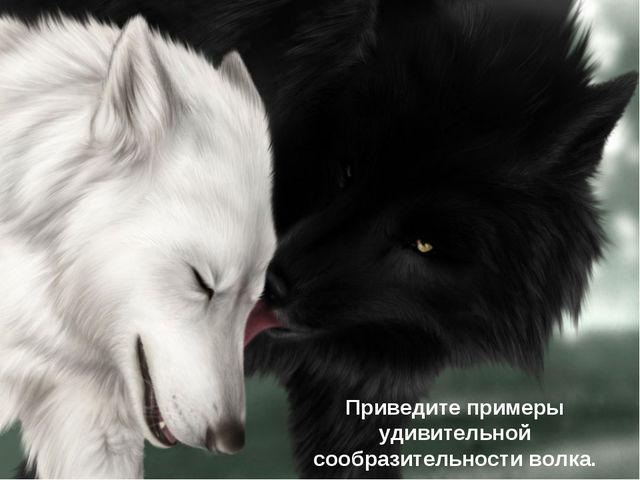 Приведите примеры удивительной сообразительности волка.