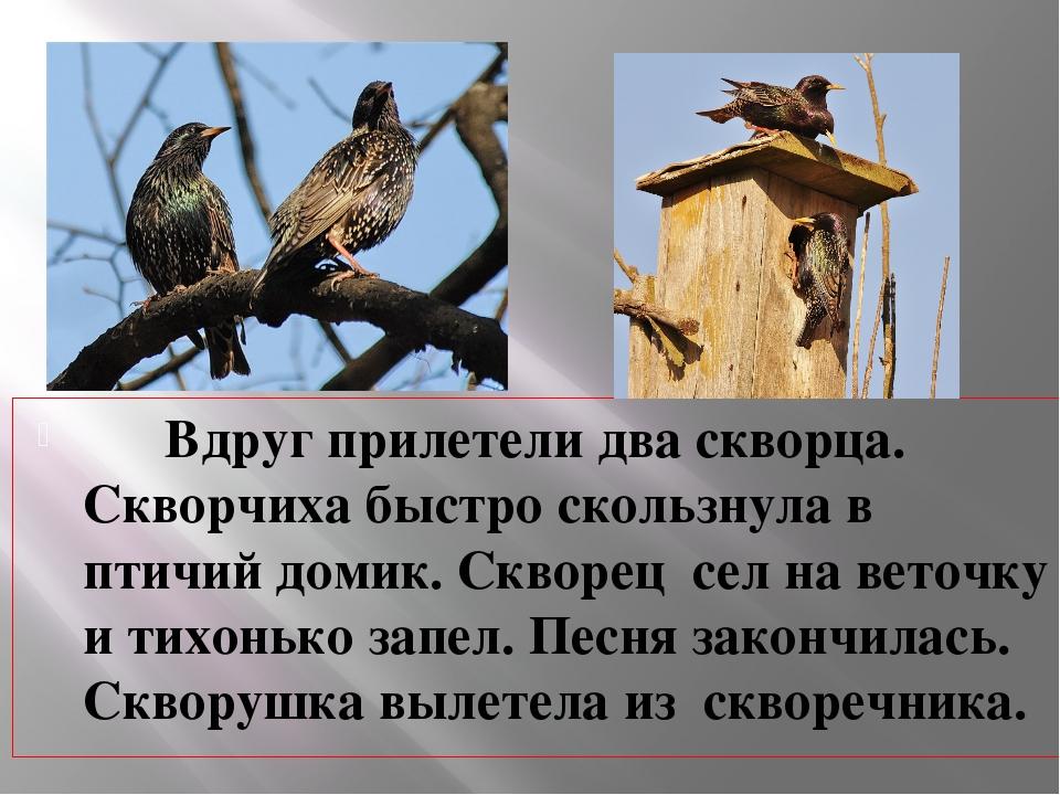 Вдруг прилетели два скворца. Скворчиха быстро скользнула в птичий домик. Скв...