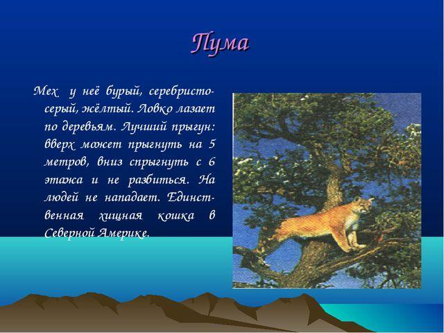 Пума Мех у неё бурый, серебристо-серый, жёлтый. Ловко лазает по деревьям. Луч...