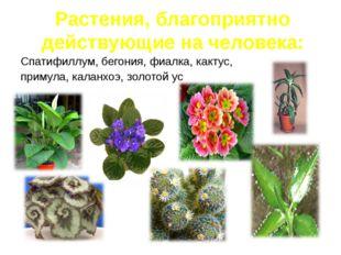 Спатифиллум, бегония, фиалка, кактус, примула, каланхоэ, золотой ус Растения,