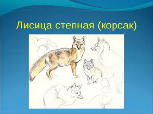 Лисица степная (корсак)