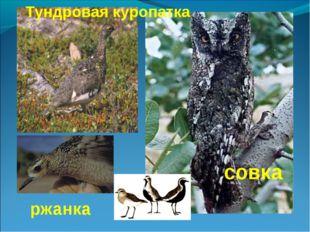 совка Тундровая куропатка ржанка