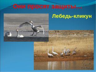 Лебедь-кликун Они просят защиты…