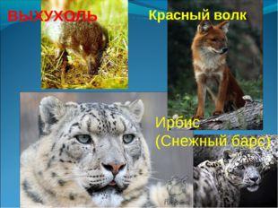 ВЫХУХОЛЬ Красный волк Ирбис (Снежный барс)