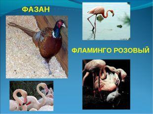ФАЗАН ФЛАМИНГО РОЗОВЫЙ